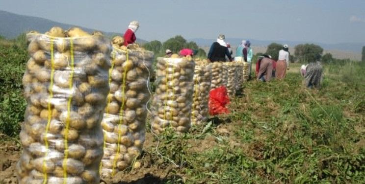 Afyonkarahisar'ın Sandıklı İlçesinden Çuval Çuval Patatesler Yola Çıktı!
